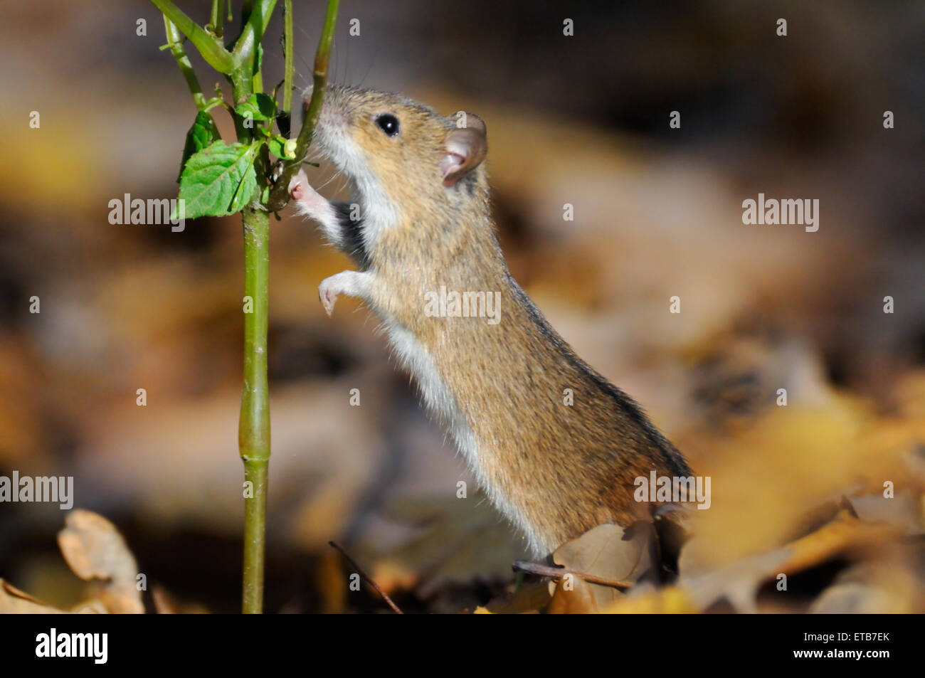 Striped Field Mouse eats Touch-me-not plant - Stock Image