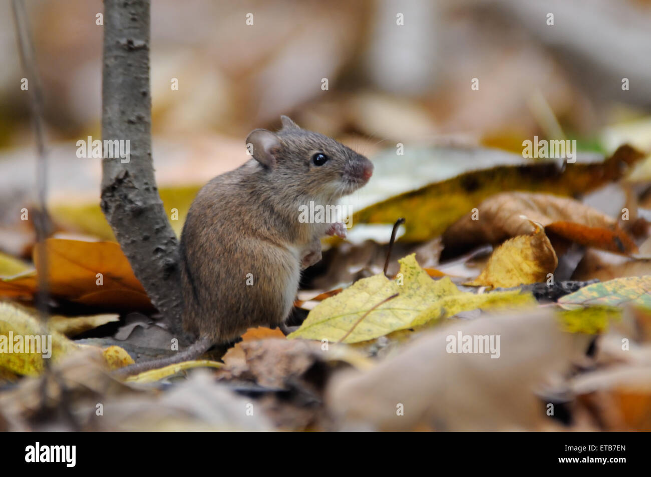 Striped Field Mouse among dry leaves - Stock Image