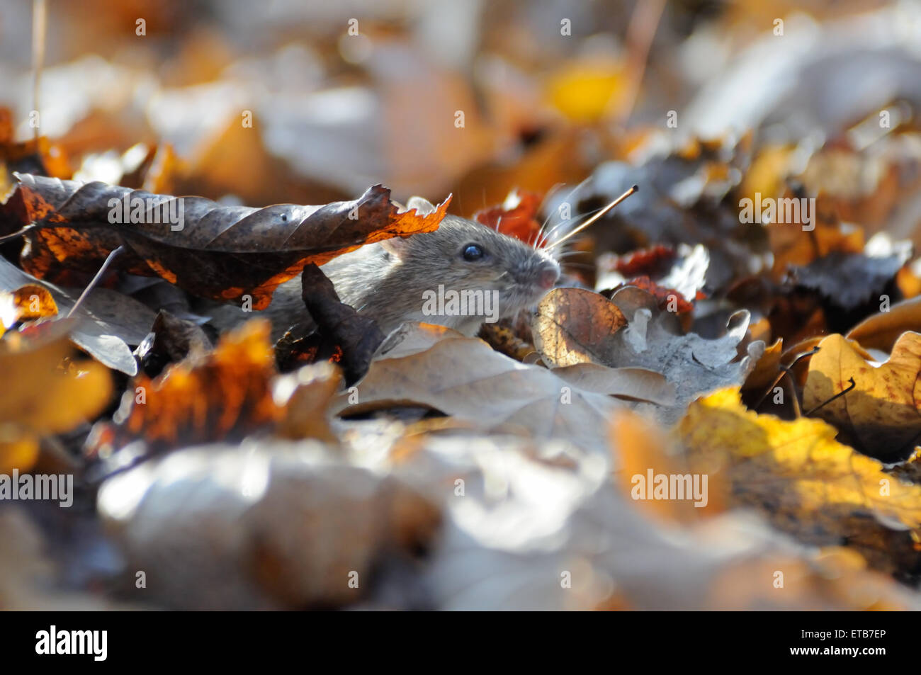 Striped Field Mouse among dry leaves in contrast lightening - Stock Image