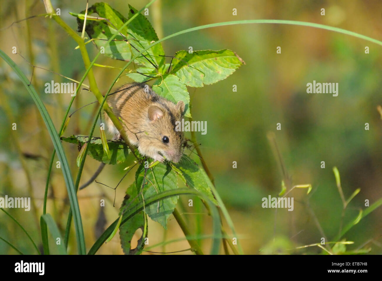 Striped Field Mouse on Touch-me-not plant - Stock Image