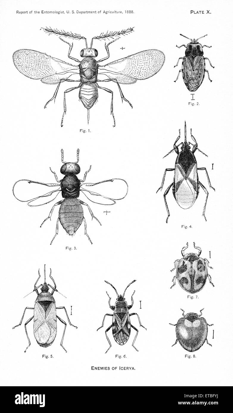 Enemies of Icerya, Plate X, Report of the Commissioner of Agriculture, US Dept of Agriculture, Illustration,  1888 - Stock Image