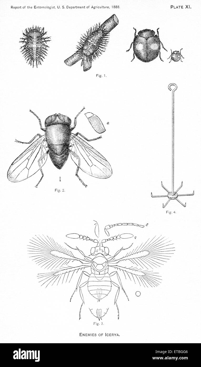 Enemies of Icerya, Plate XI, Report of the Commissioner of Agriculture, US Dept of Agriculture, Illustration,  1888 - Stock Image