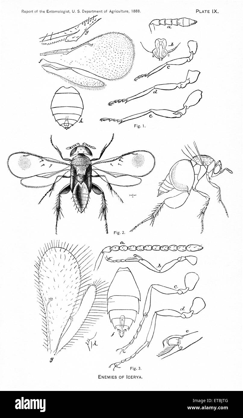 Enemies of Icerya, Plate IX, Report of the Commissioner of Agriculture, US Dept of Agriculture, Illustration,  1888 - Stock Image