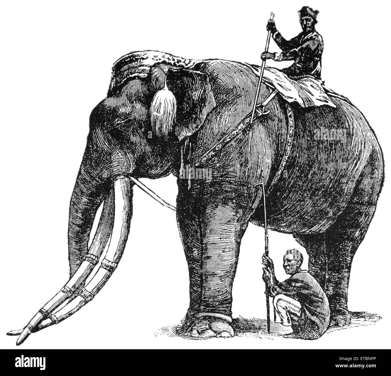 Elephant, belonging to King of Siam, Has Same Title and Privileges as Nobleman of Fifth Rank, 'Classical Portfolio - Stock Image