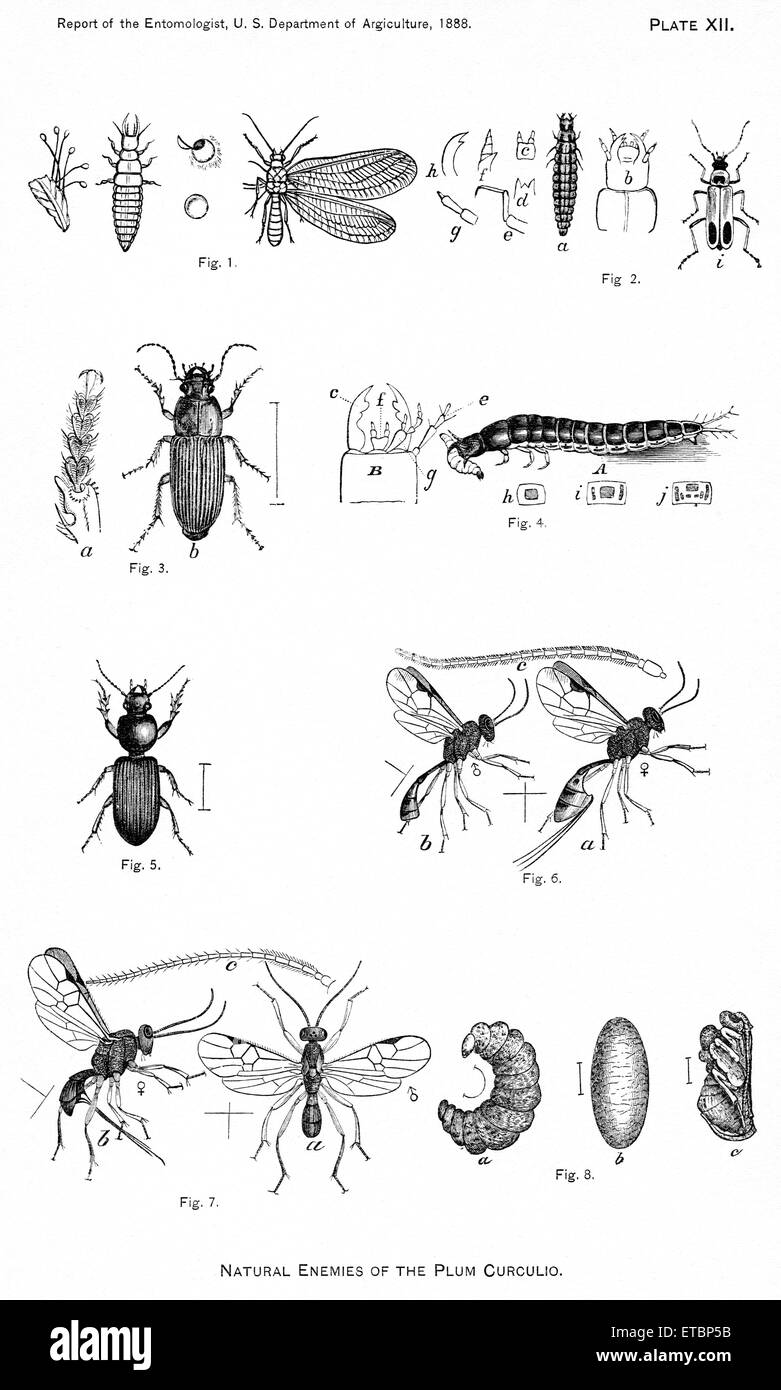 Natural Enemies of the Plum Curculio, Report of the Commissioner of Agriculture, US Dept of Agriculture, Illustration, - Stock Image
