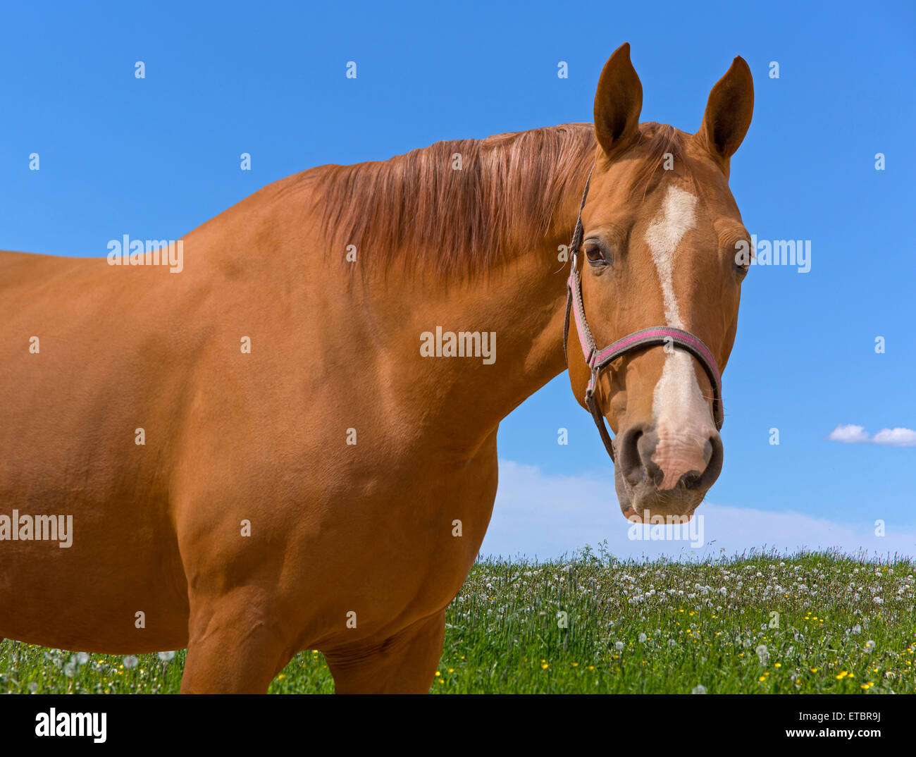 Sorrel horse on summer meadow looking at camera - Stock Image