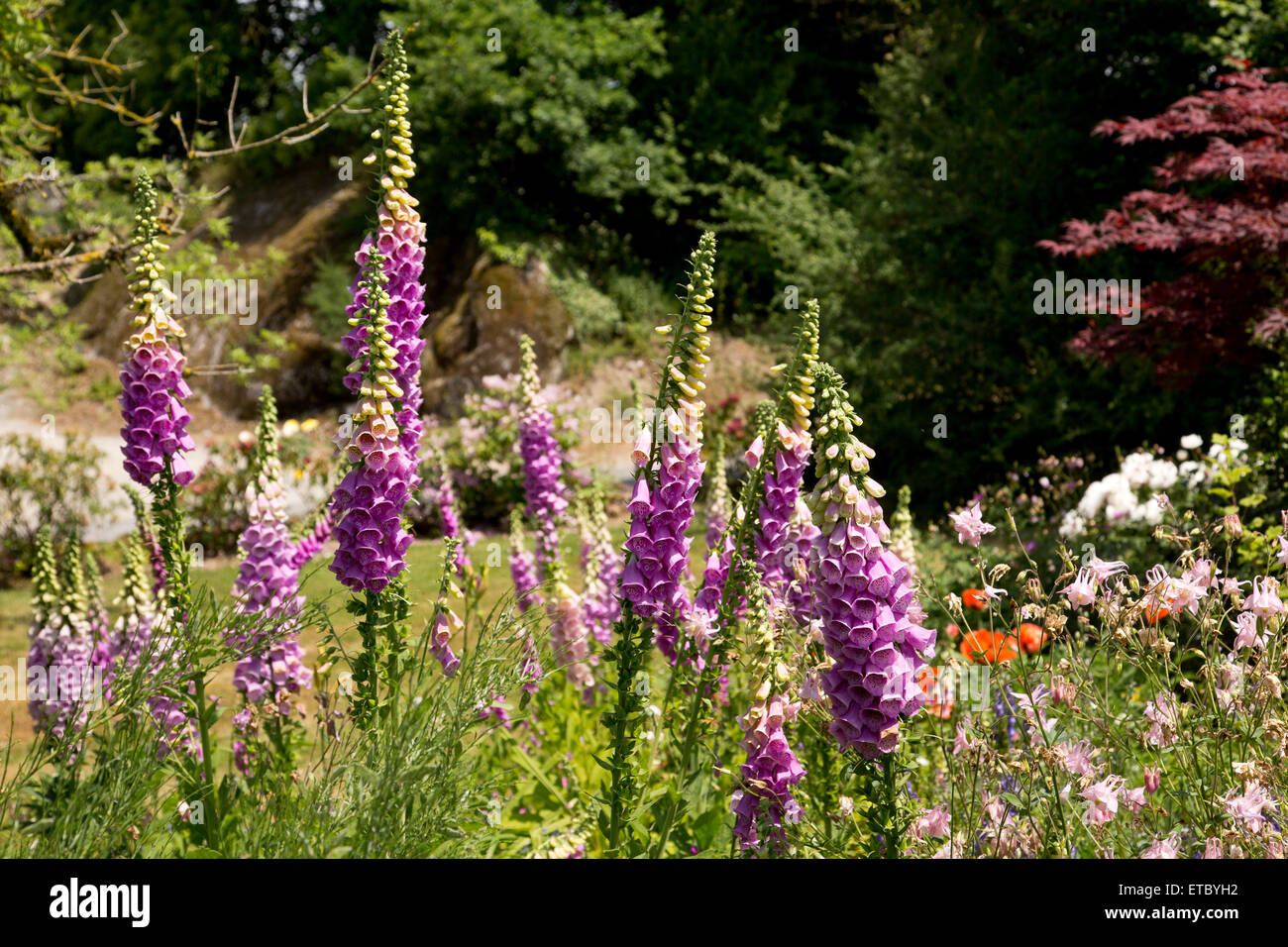 Pink Foxgloves in a cottage garden - Stock Image