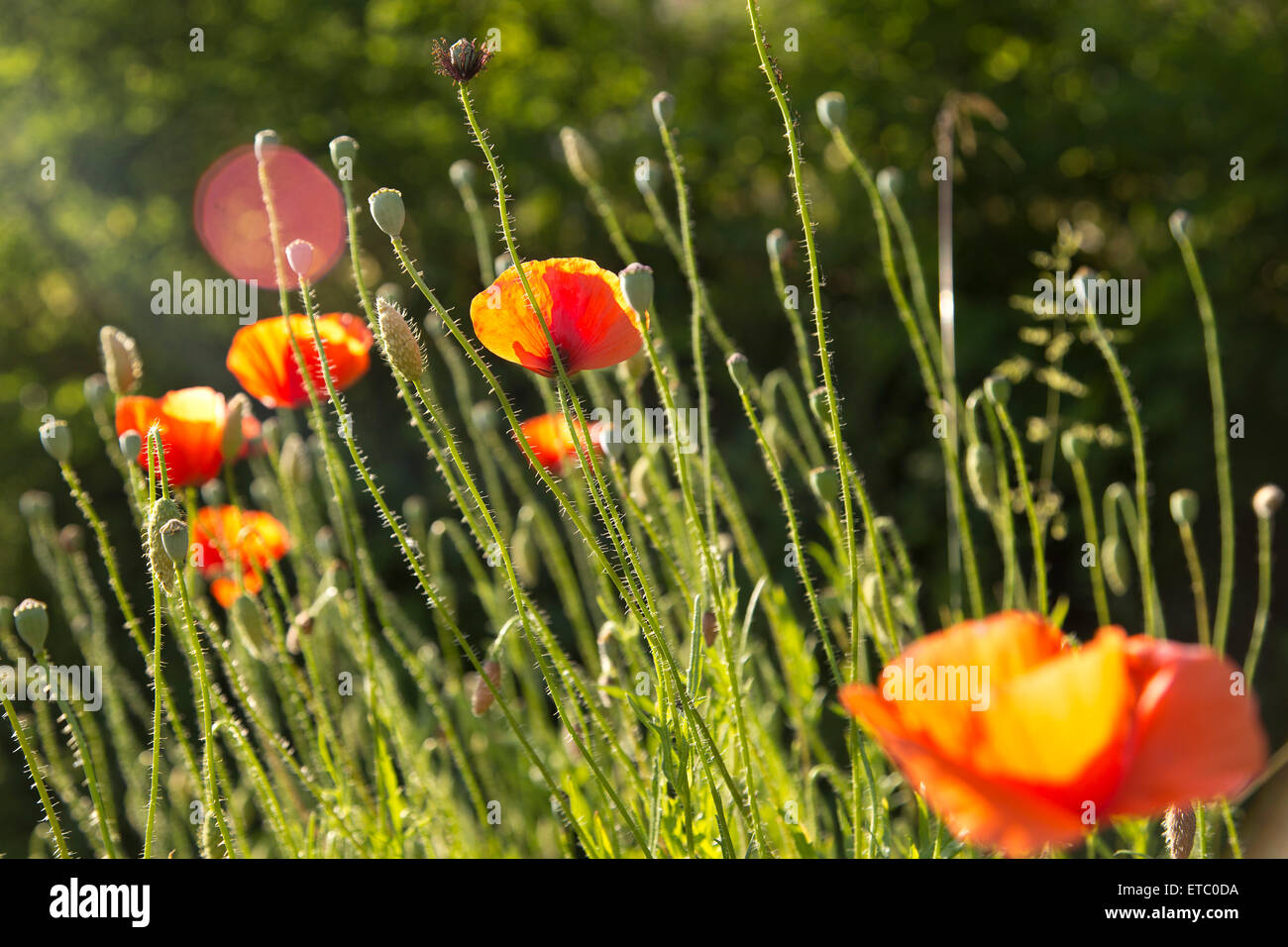 Orange Poppies and flower stems rise up towards the sun with lens flare. - Stock Image