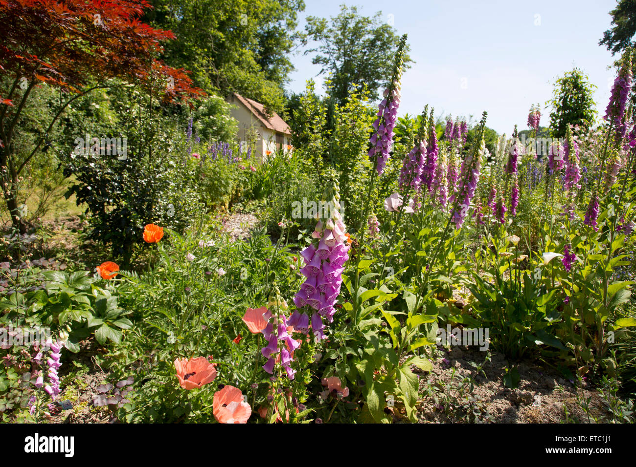 Foxgloves in a cottage garden. Path leading to hut. - Stock Image