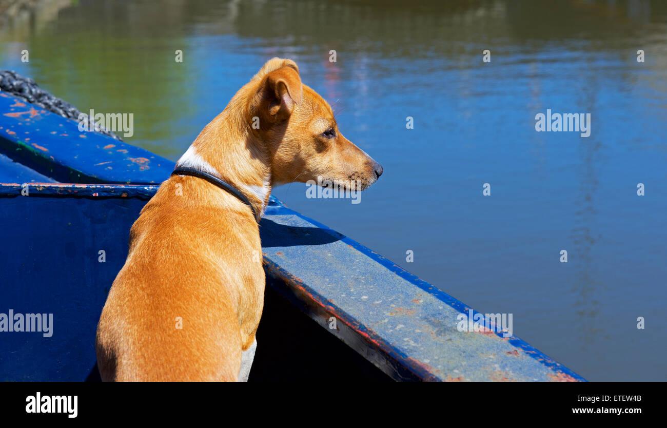 Jack Russell dog on canal narrowboat, England UK - Stock Image