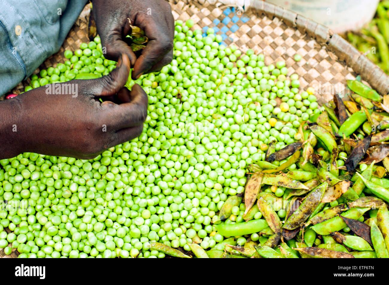 Man shelling peas, Nyamirambo, Kigali, Rwanda - Stock Image