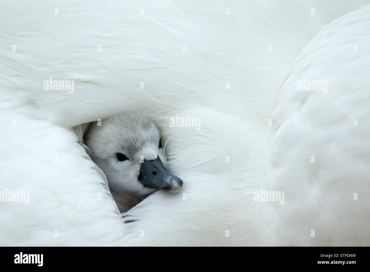 Mute Swan (Cygnus olor) cygnet on the nest, while mother provides warmth and protection Stock Photo