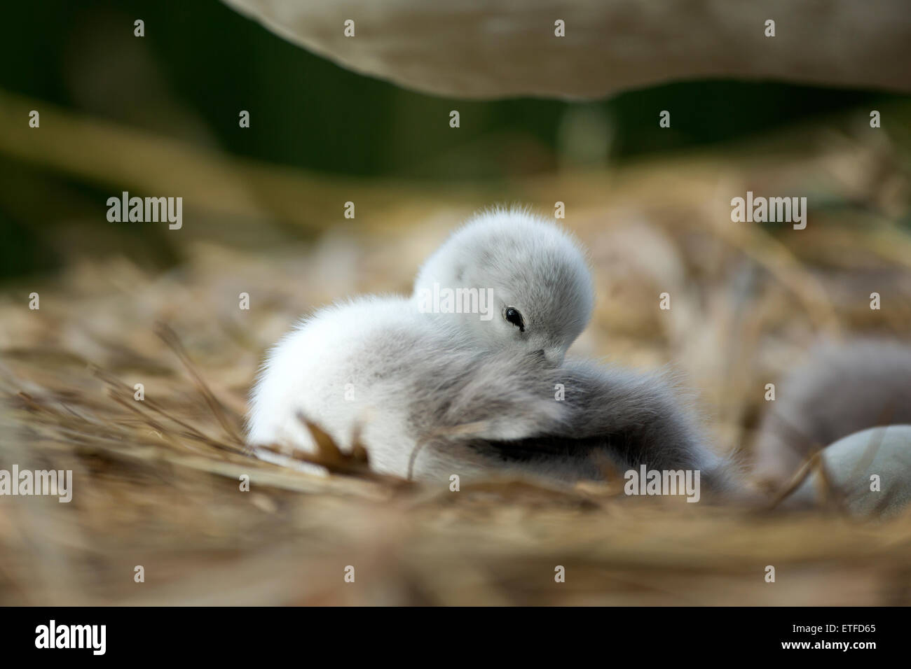 Mute Swan (Cygnus olor) cygnet awake on the nest, while mother stands over, protecting - Stock Image