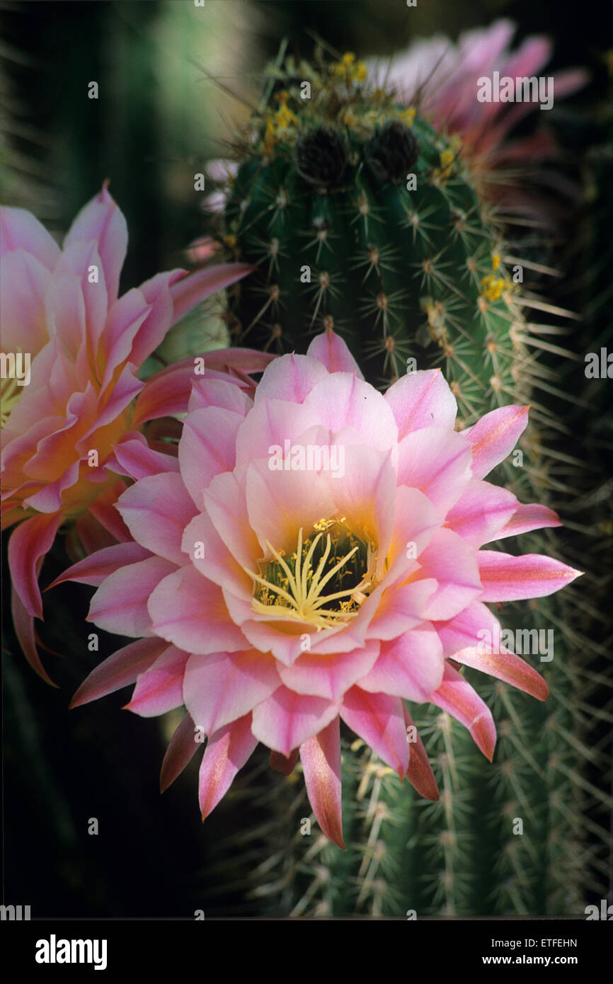 Soft Light Filters Through To A Pink Cactus Flower At The Living