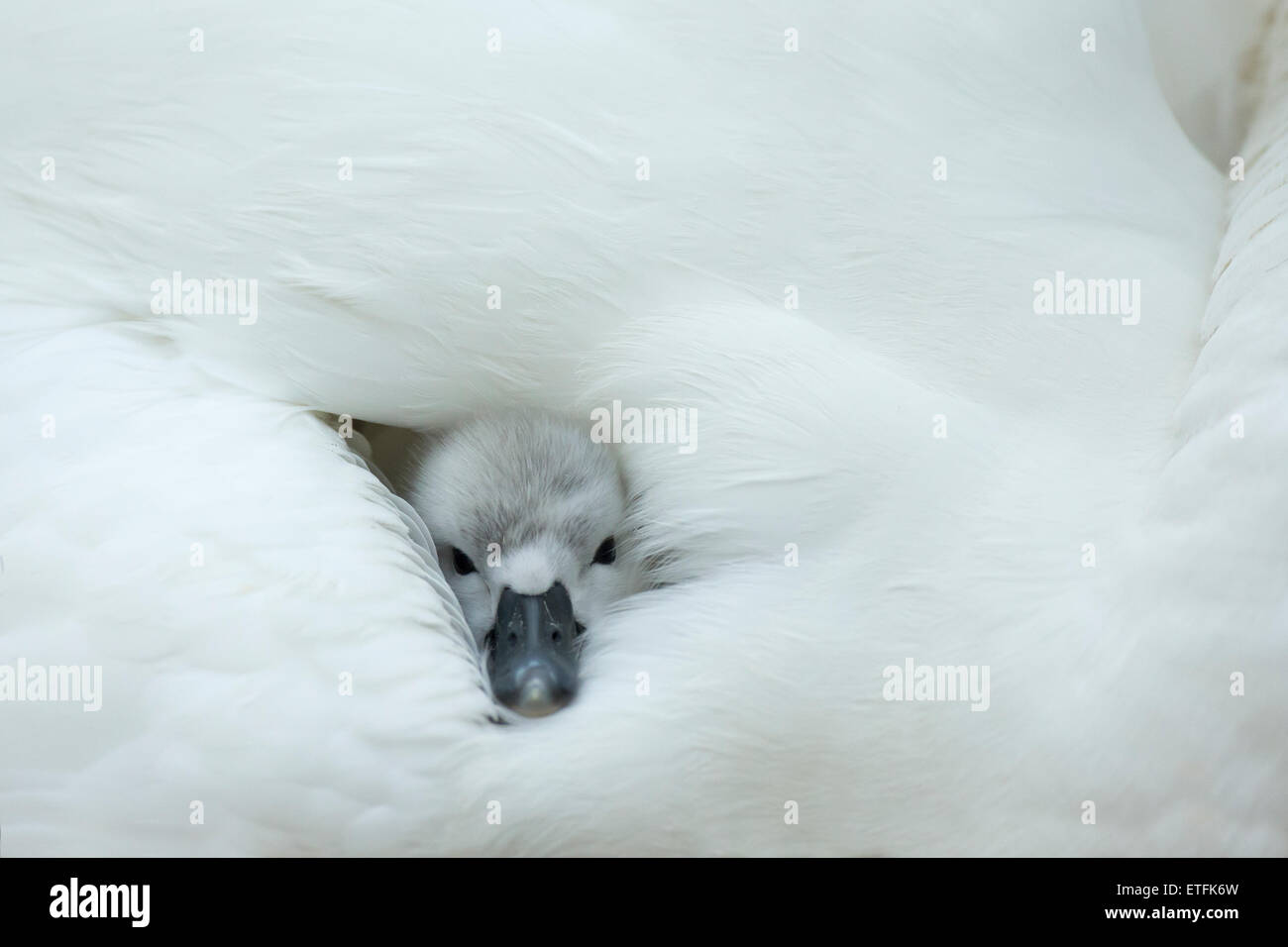 Mute Swan (Cygnus olor) cygnet on the nest, while mother provides warmth and protection - Stock Image