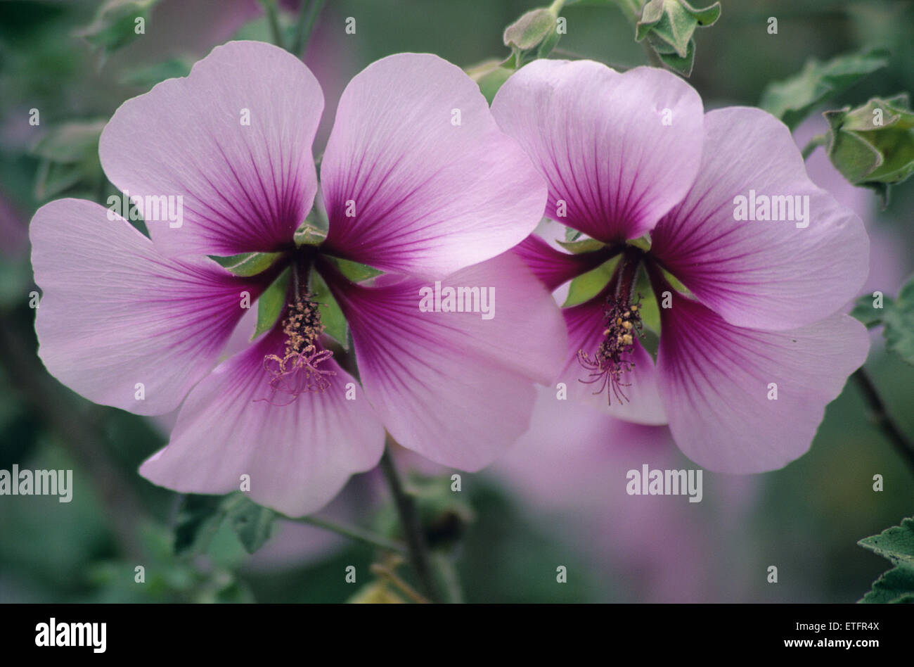 A Closeup Of The Blooms Of Rose Of Sharon Hibiscus Syriacus Stock