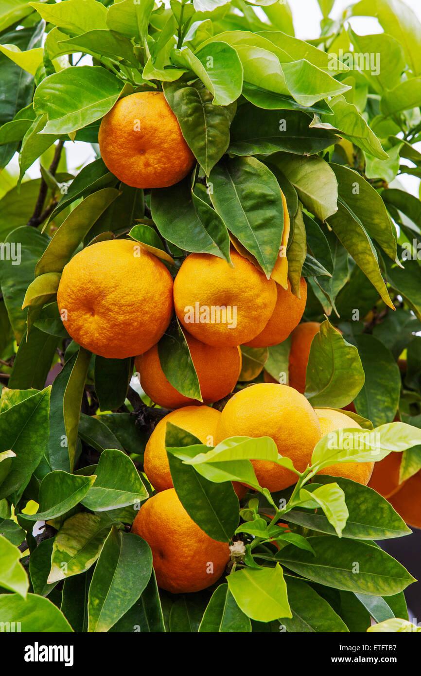 Citrus aurantium - Seville orange tree Stock Photo