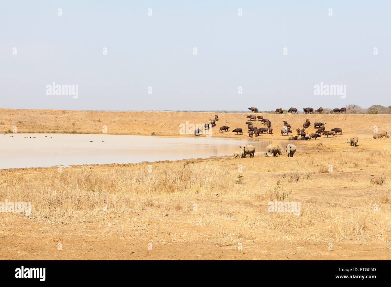 Wildebeest and white rhino at waterhole at Phinda Private Game Reserve, South Africa - Stock Image