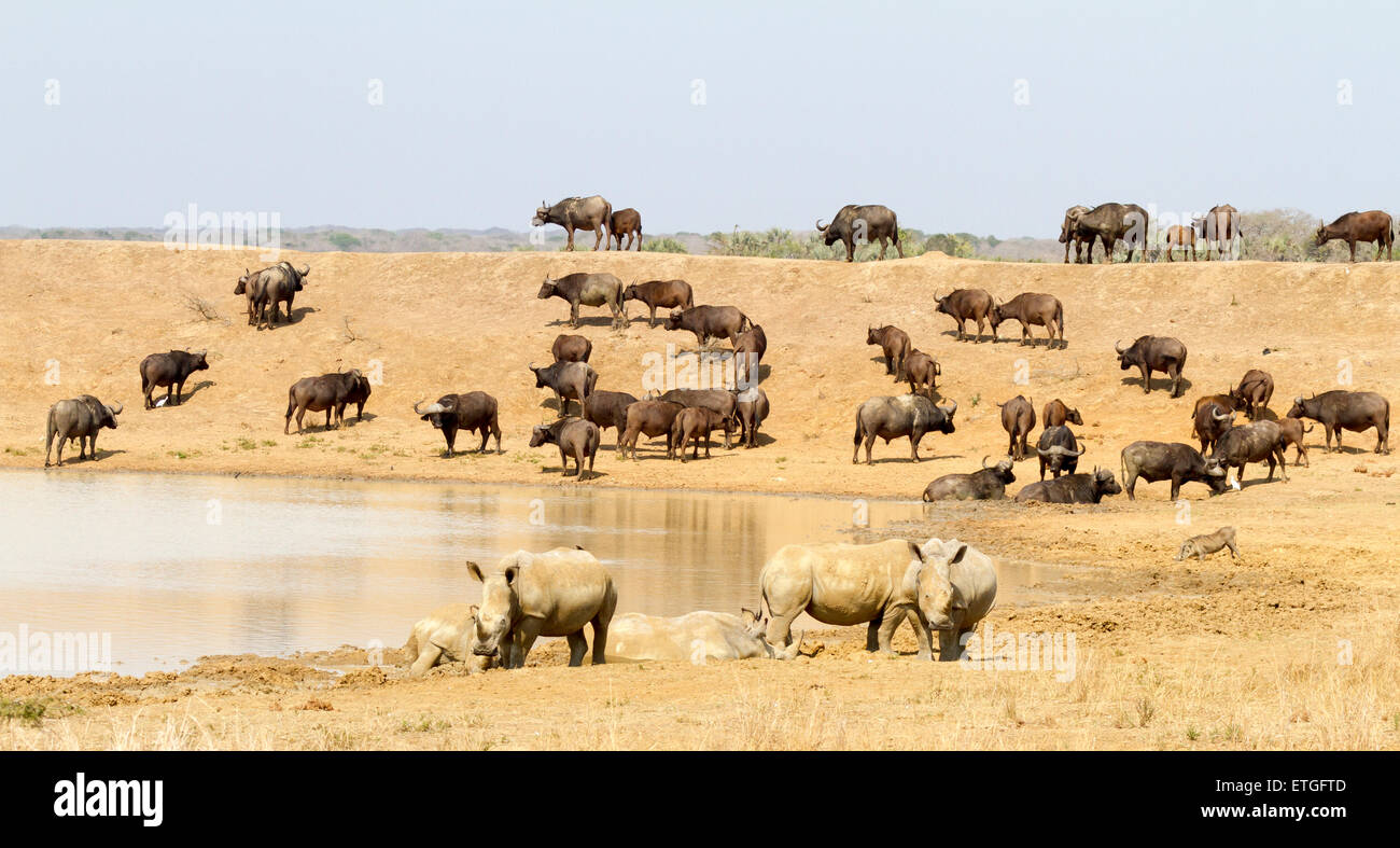 Wildebeest and white rhino at a waterhole, Phinda Private Game Reserve, South Africa - Stock Image