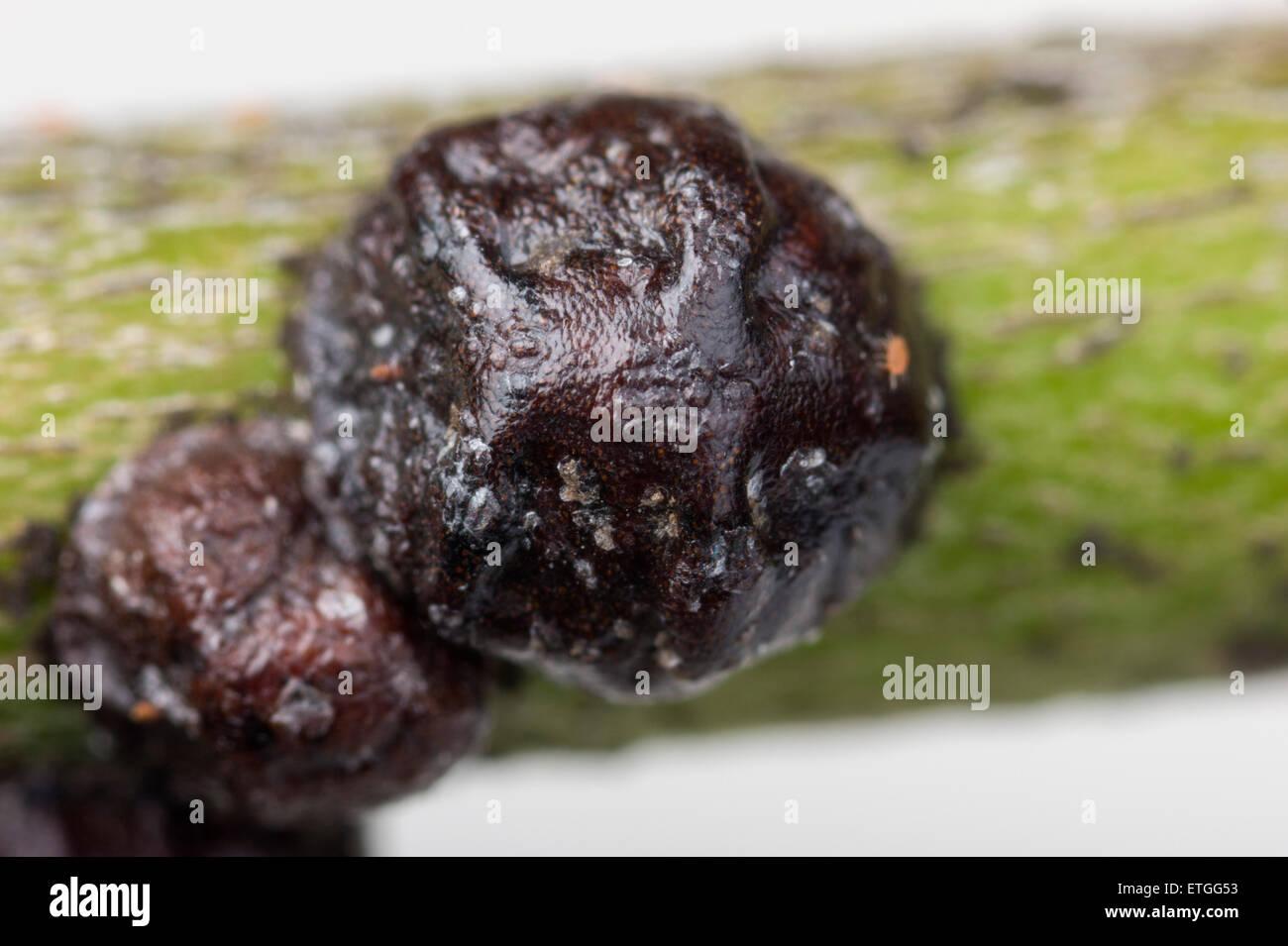 Black olive scale on oleander - Stock Image