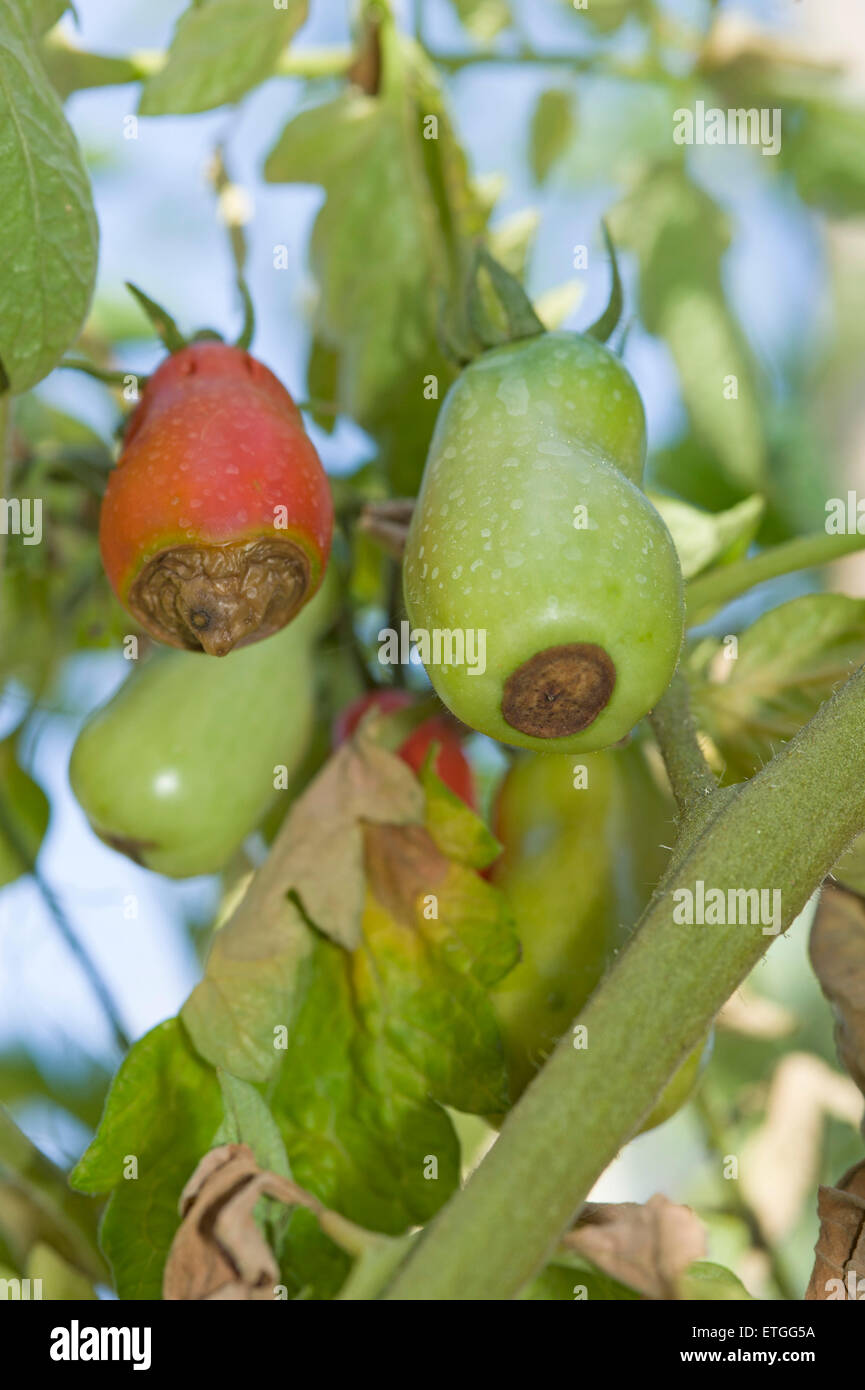 Blossom end rot symptoms on Roma type tomatoes - Stock Image