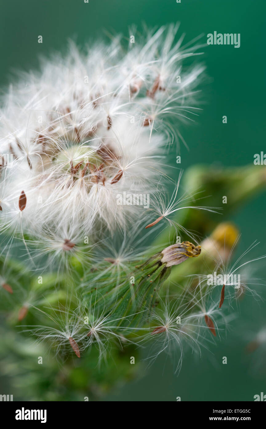 Sow thistle flower head and seeds - Stock Image