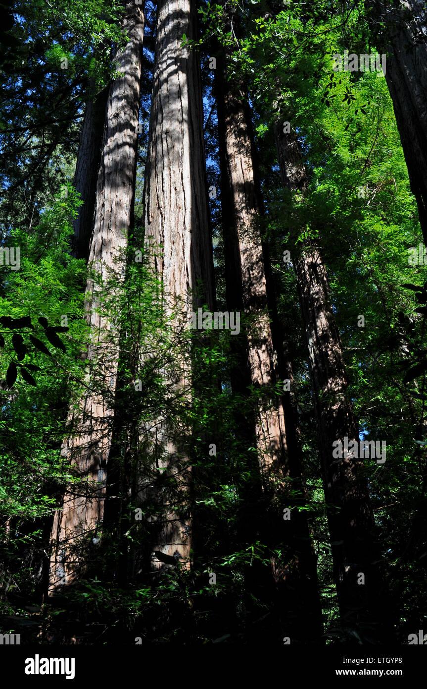 Big Basin Redwood State Park, California, USA - Stock Image