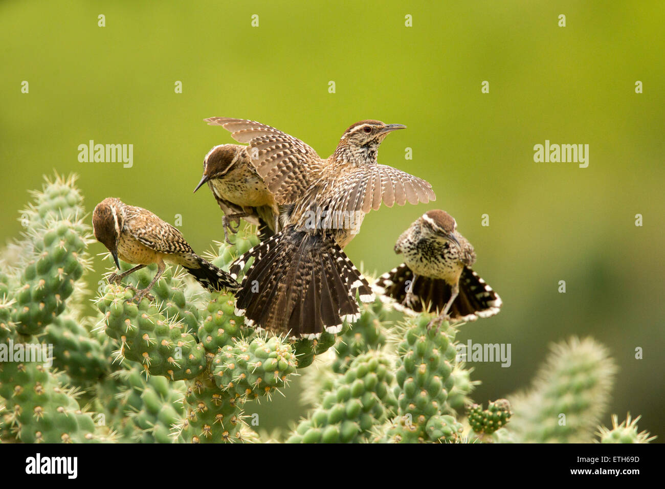 Cactus Wren Campylorhynchus brunneicapillus Tucson, Arizona, United States 8 June      Adults and Immatures.    - Stock Image