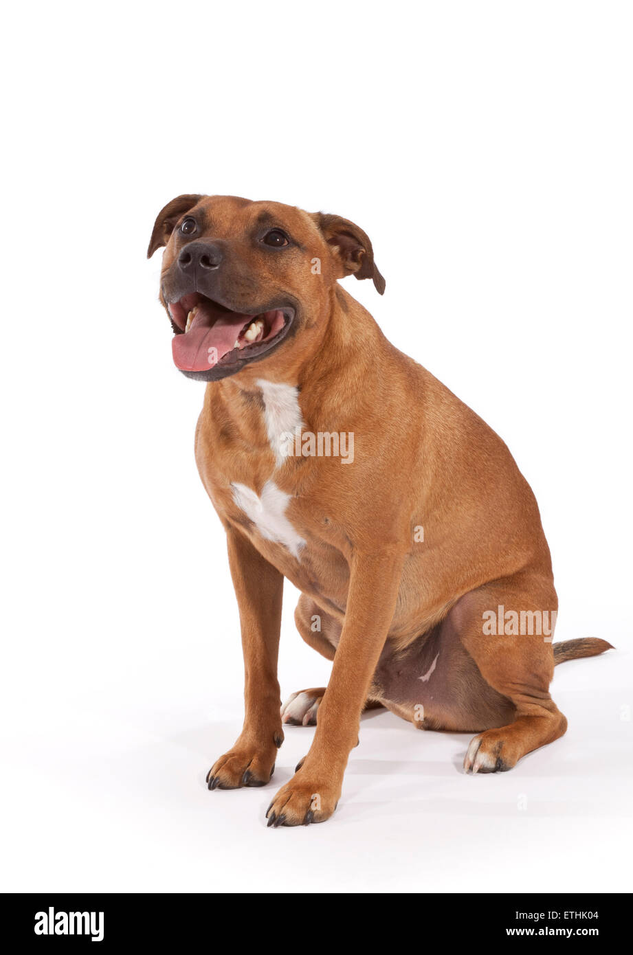 Staffordshire Bull Terrier Dog aged 3 years - Stock Image