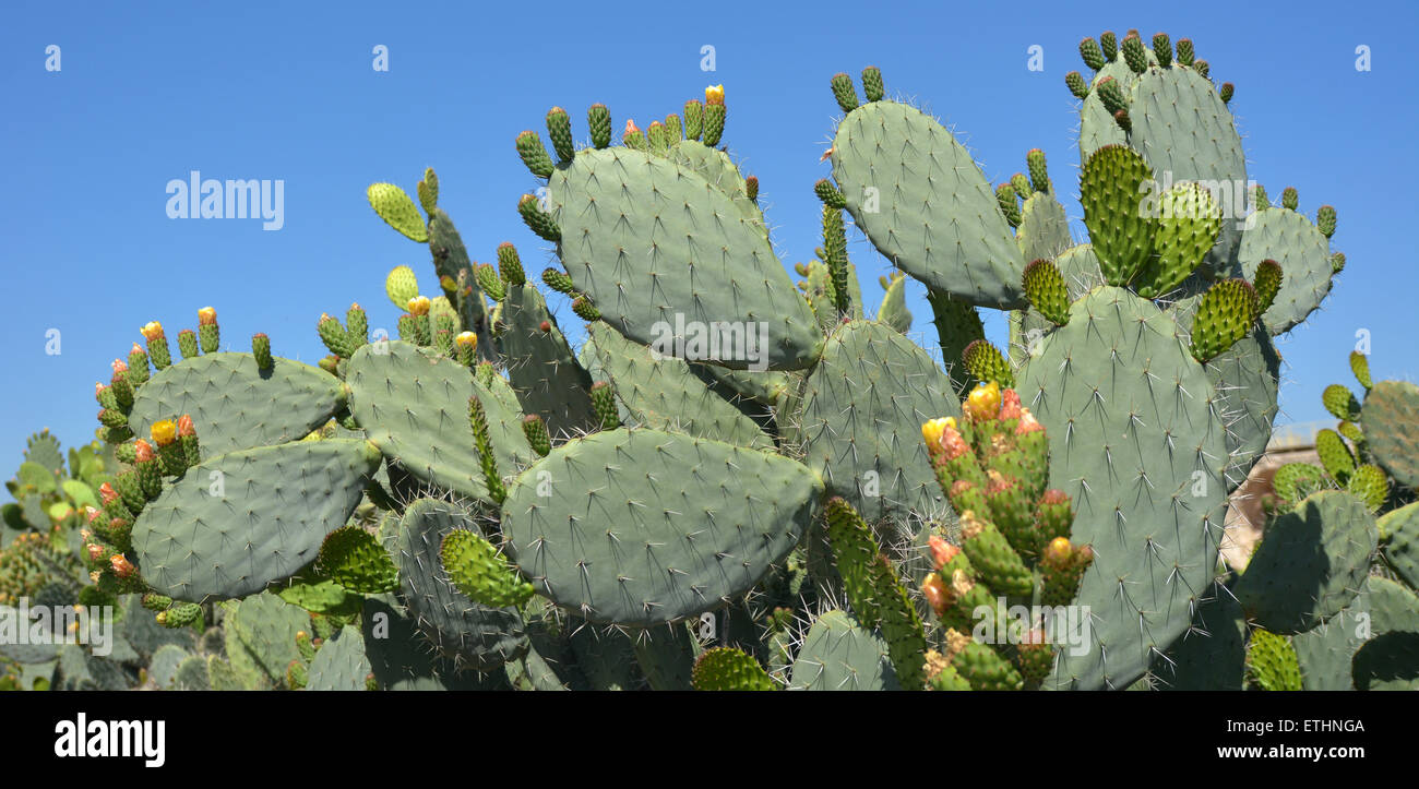 Prickly pear cactus with fruit in orange color, cactus spines. - Stock Image