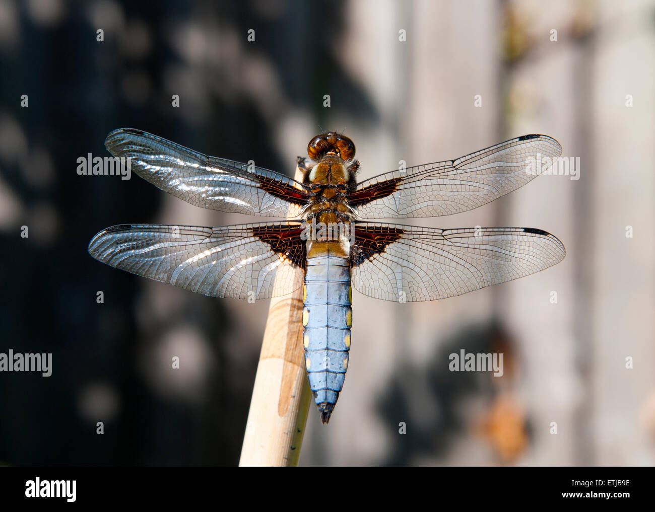 British dragonfly, the Broad-Bodied Chaser, Libellula depressa - Stock Image