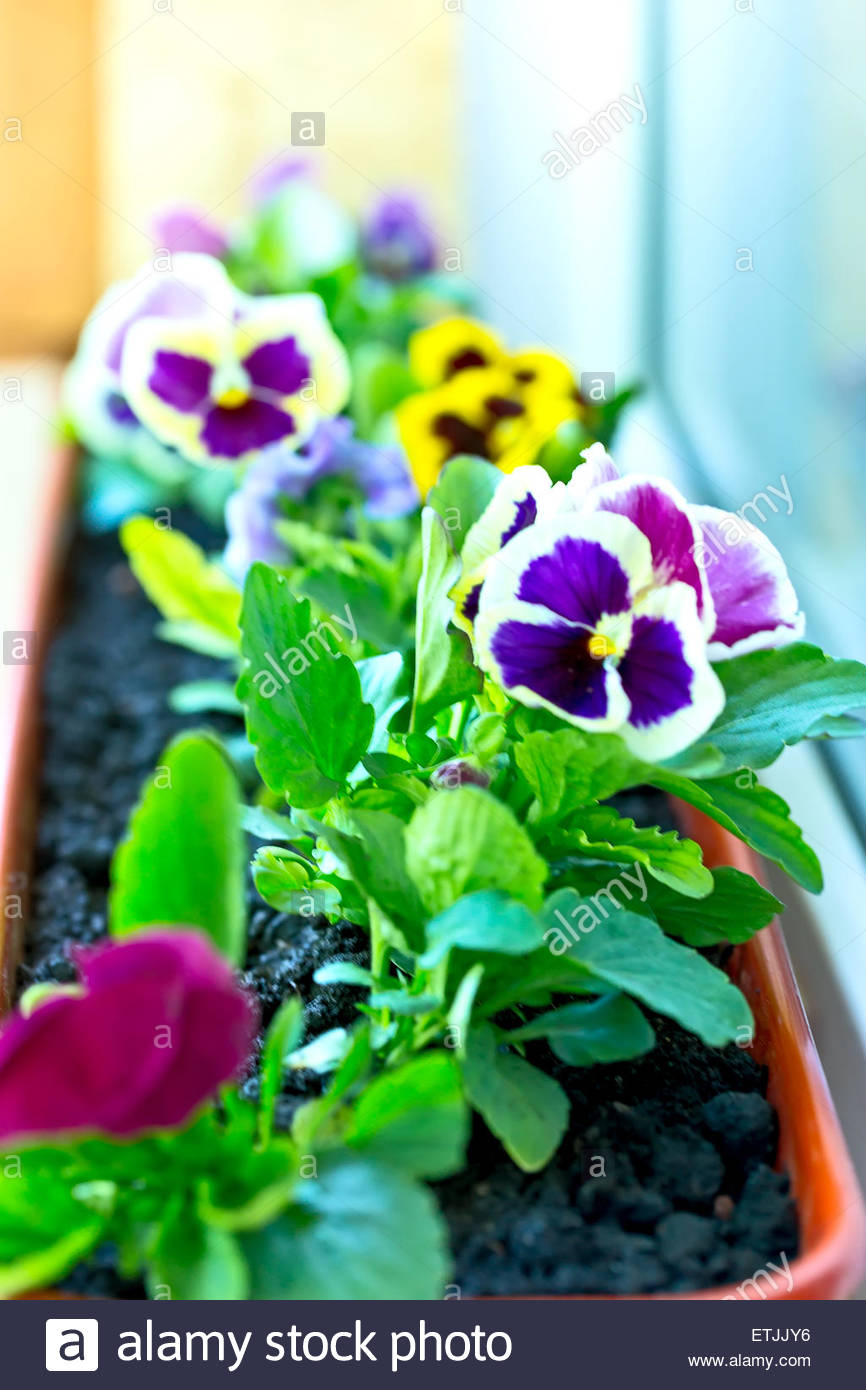 Pansy Flower In A Flower Pot Purple And Yellow Flowers In Pots