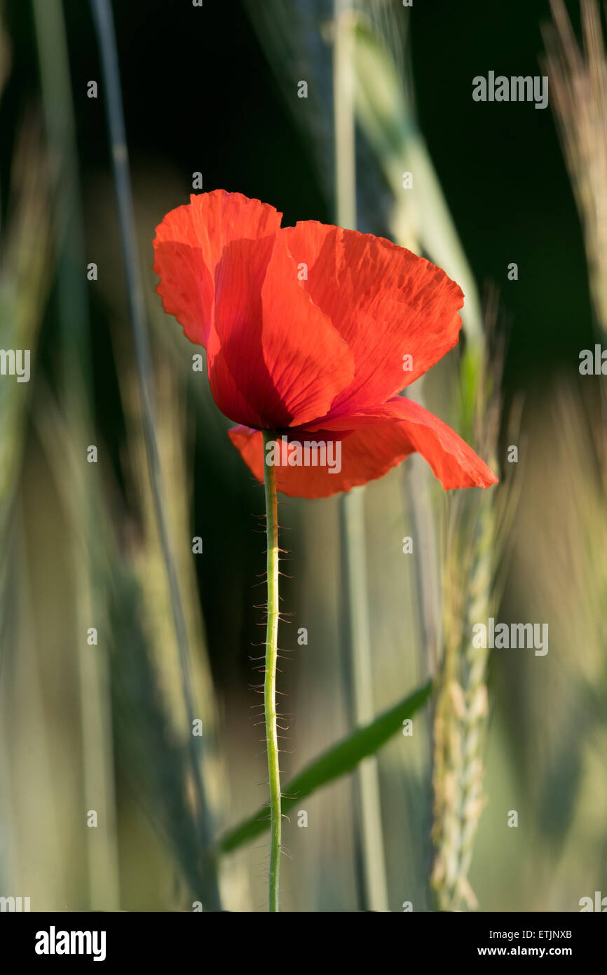 Poppy on the wheat field background in the morning - Stock Image