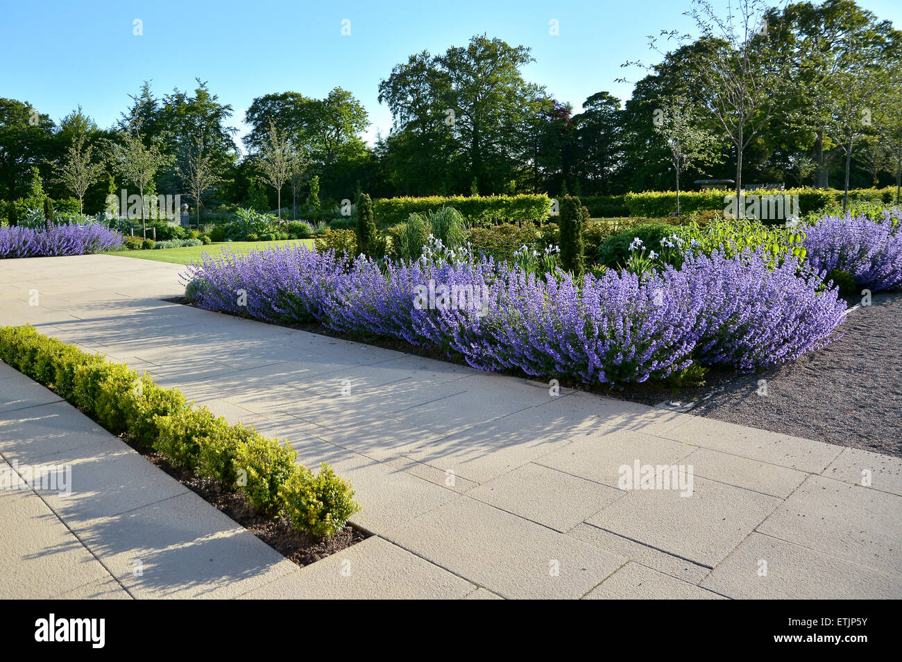 English Country Summer Garden with beds of lavender and hedges - Stock Image