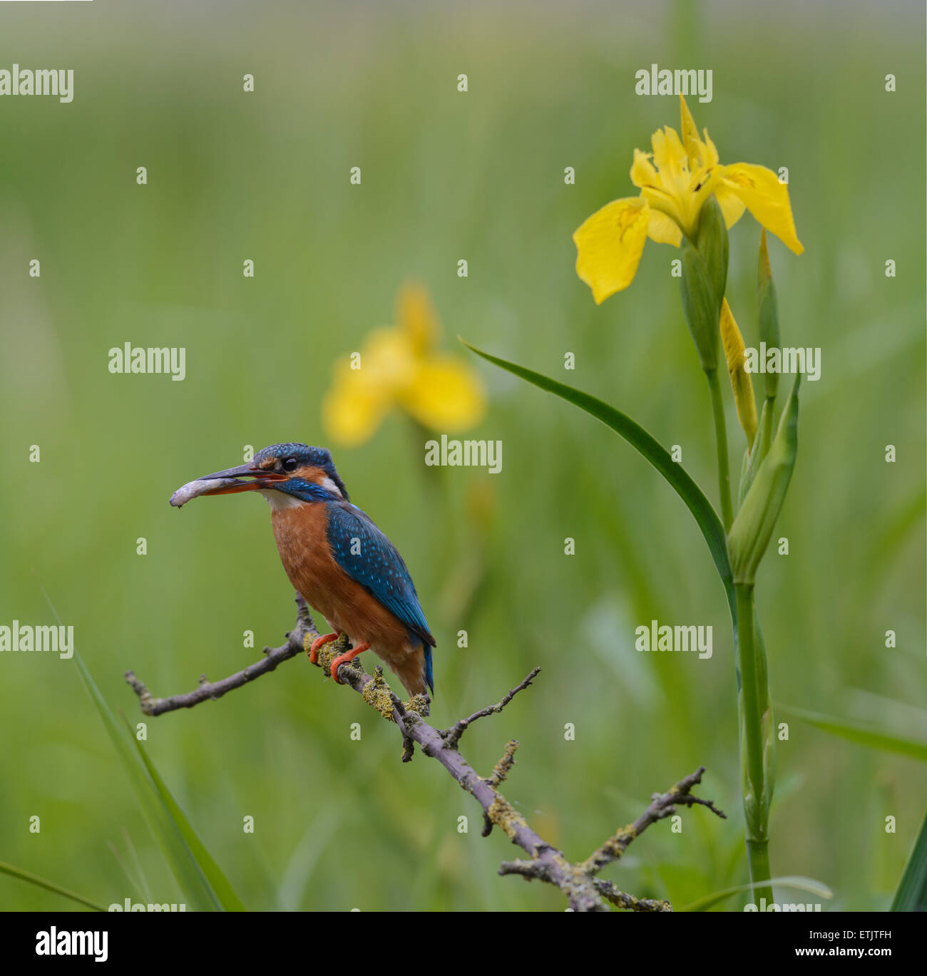 European Kingfisher with prey with Yellow iris flowers Stock Photo