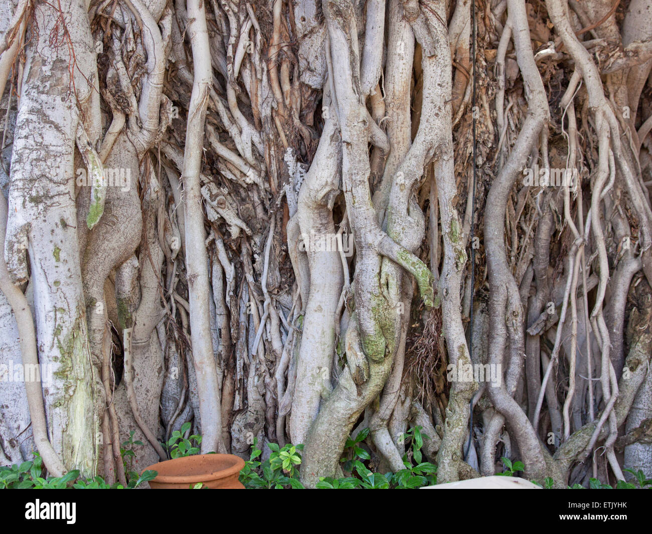 Banyan Tree (Ficus benghalensis) at a roadside in Rajasthan, India. The native tree is considered sacred in Hinduism - Stock Image