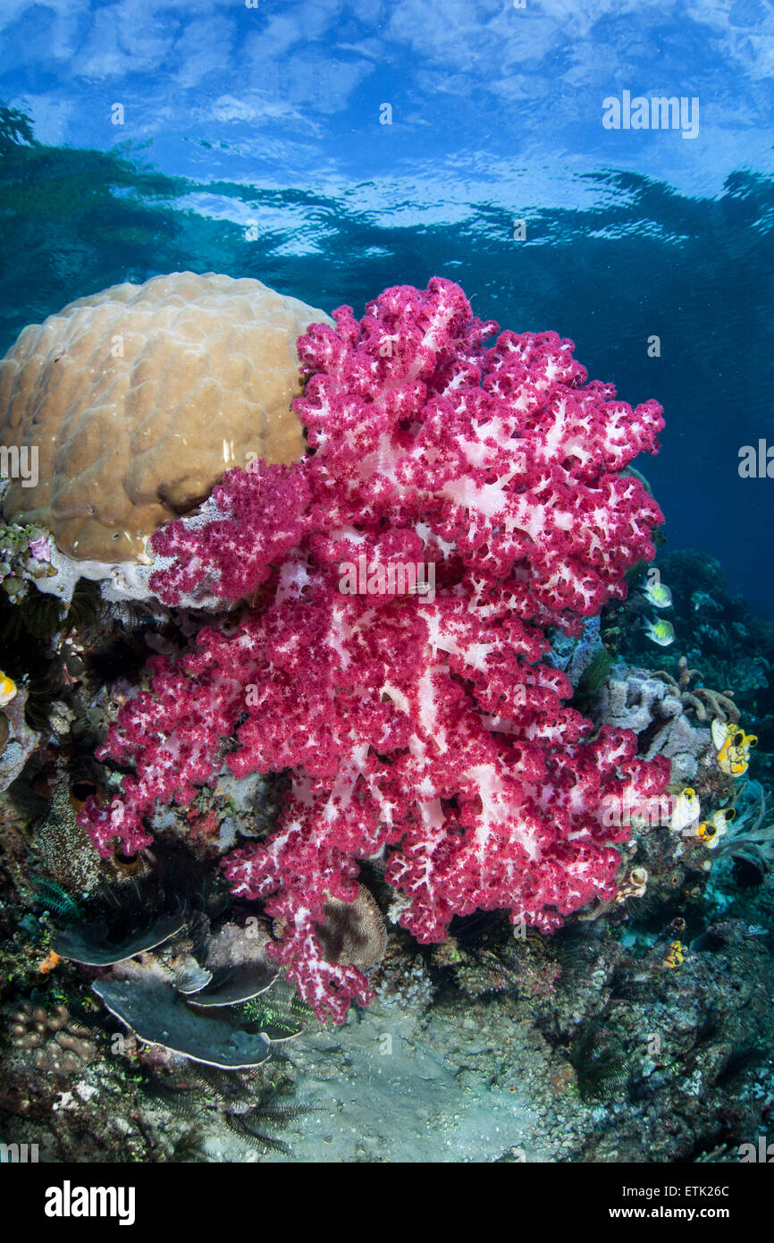 A colorful soft coral colony (Dendronephthya sp.) grows on a coral reef in Raja Ampat, Indonesia. - Stock Image