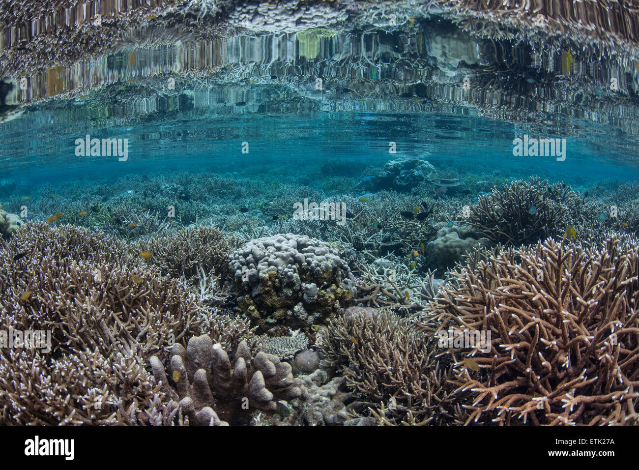 A beautiful coral reef grows in shallow water in Raja Ampat, Indonesia. This area is home to a great diversity of - Stock Image