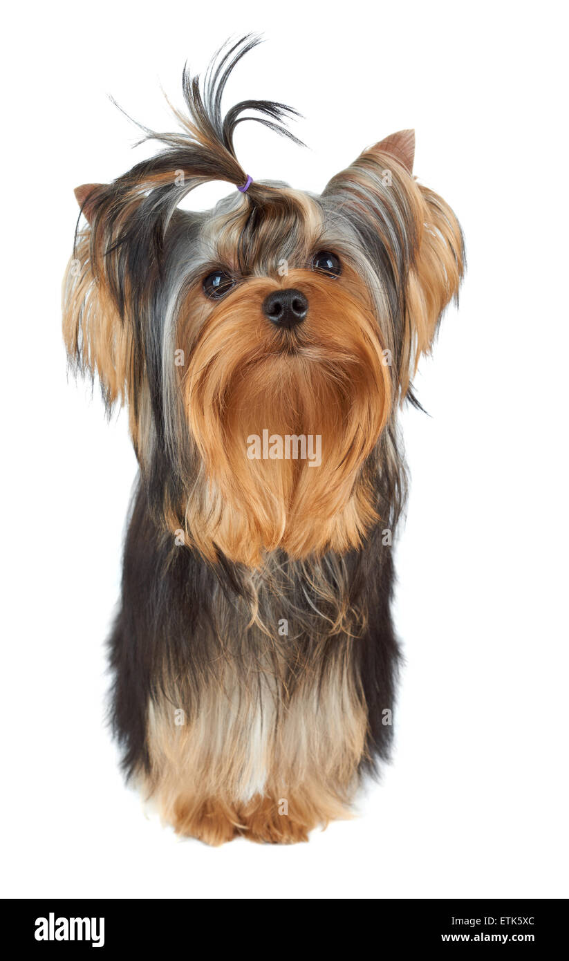 One Perfectly Groomed Puppy Of The Yorkshire Terrier With Top Knot
