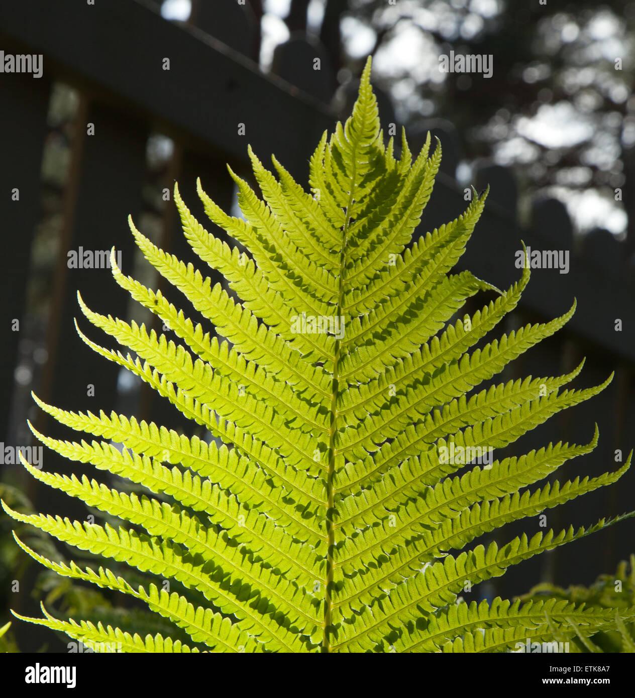 Leaf of fern - Stock Image