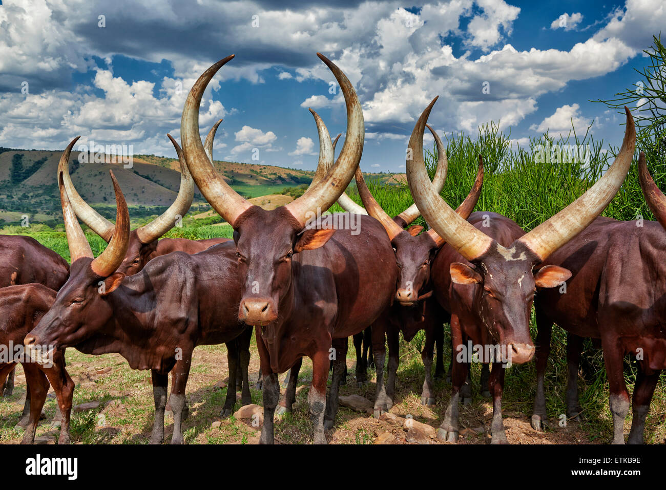 Ankole-Watusi, also known as Ankole longhorn, Lake Mburo National Park, Uganda, Africa - Stock Image