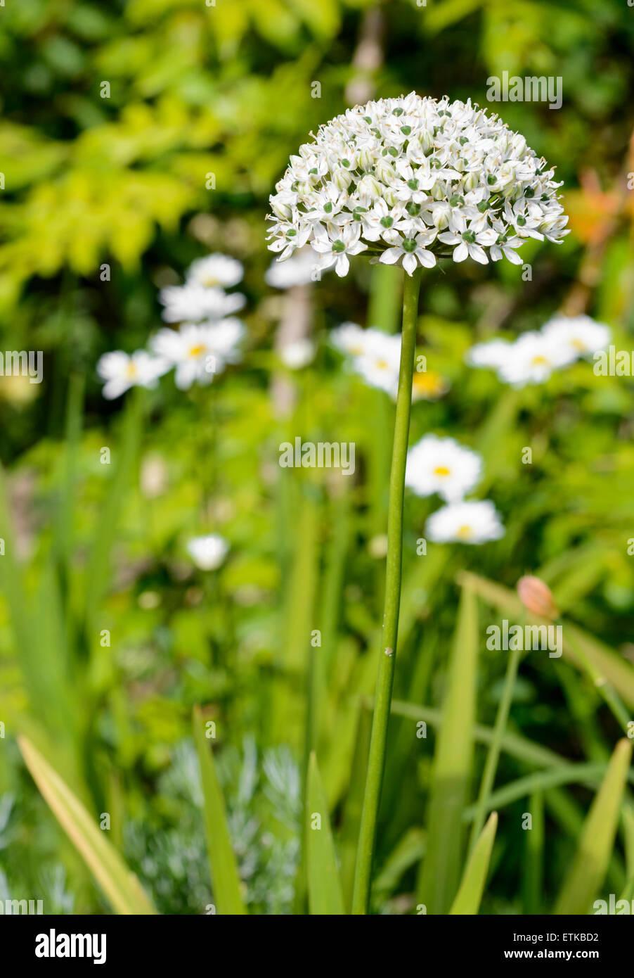 Allium Nigrum (Black Garlic, Broad-leaved Onion) flower in mid June in West Sussex, England, UK. - Stock Image