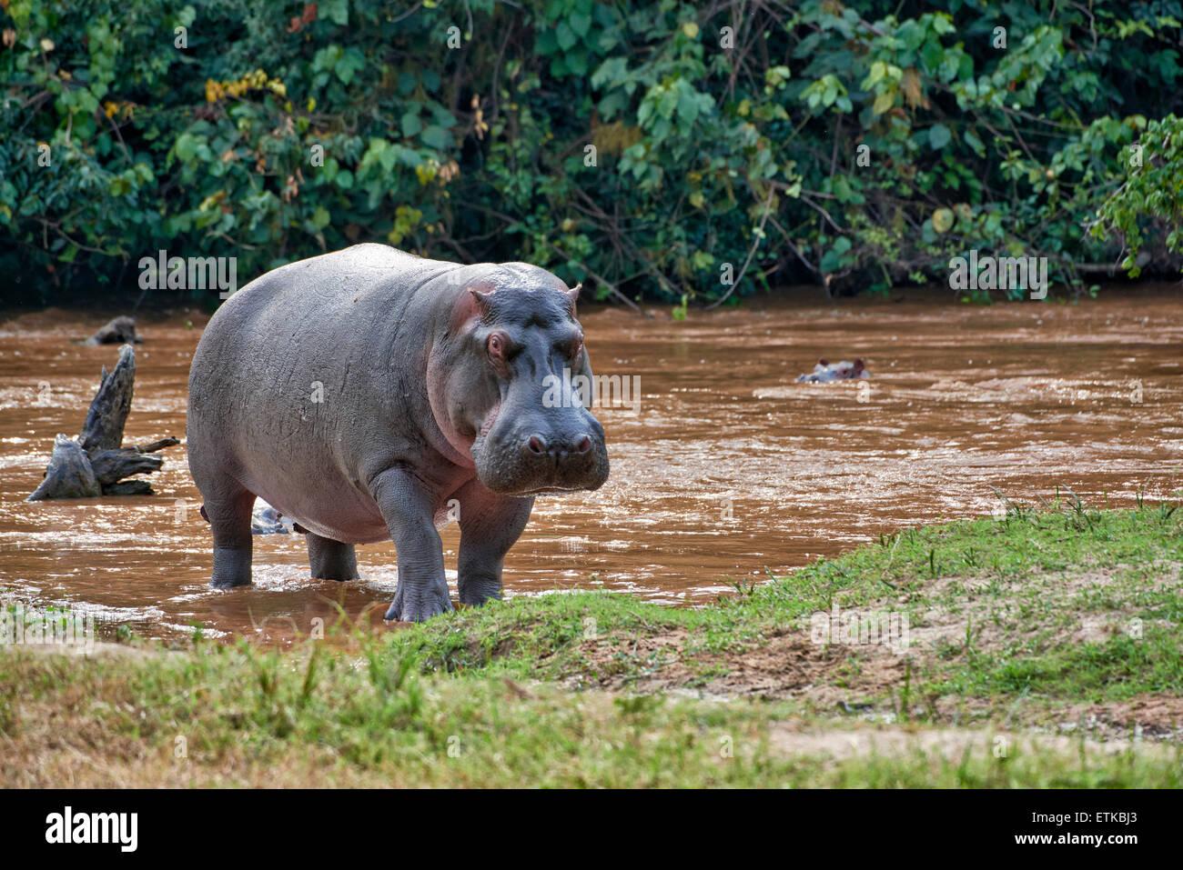 Hippopotamus, Hippopotamus amphibius, Ishasha Sector, Queen Elizabeth National Park, Uganda, Africa - Stock Image