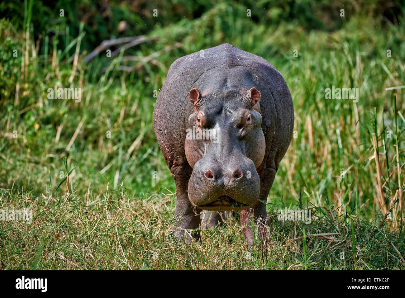angry Hippopotamus looking on you, Hippopotamus amphibius, Kazinga Channel, Queen Elizabeth National Park, Uganda, - Stock Image