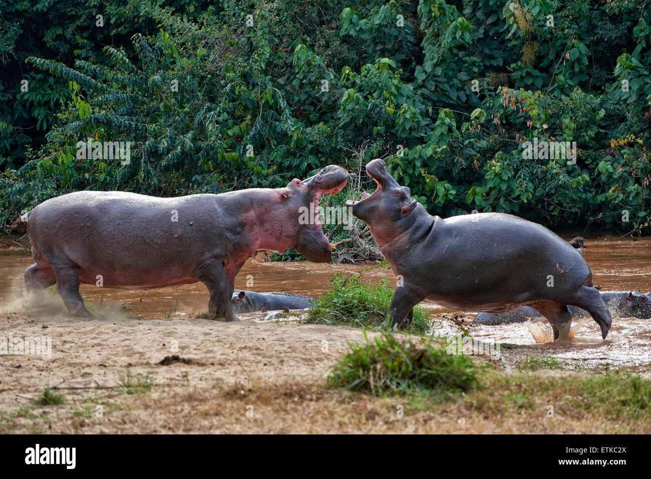 fighting Hippopotamus, Hippopotamus amphibius, Ishasha Sector, Queen Elizabeth National Park, Uganda, Africa - Stock Image