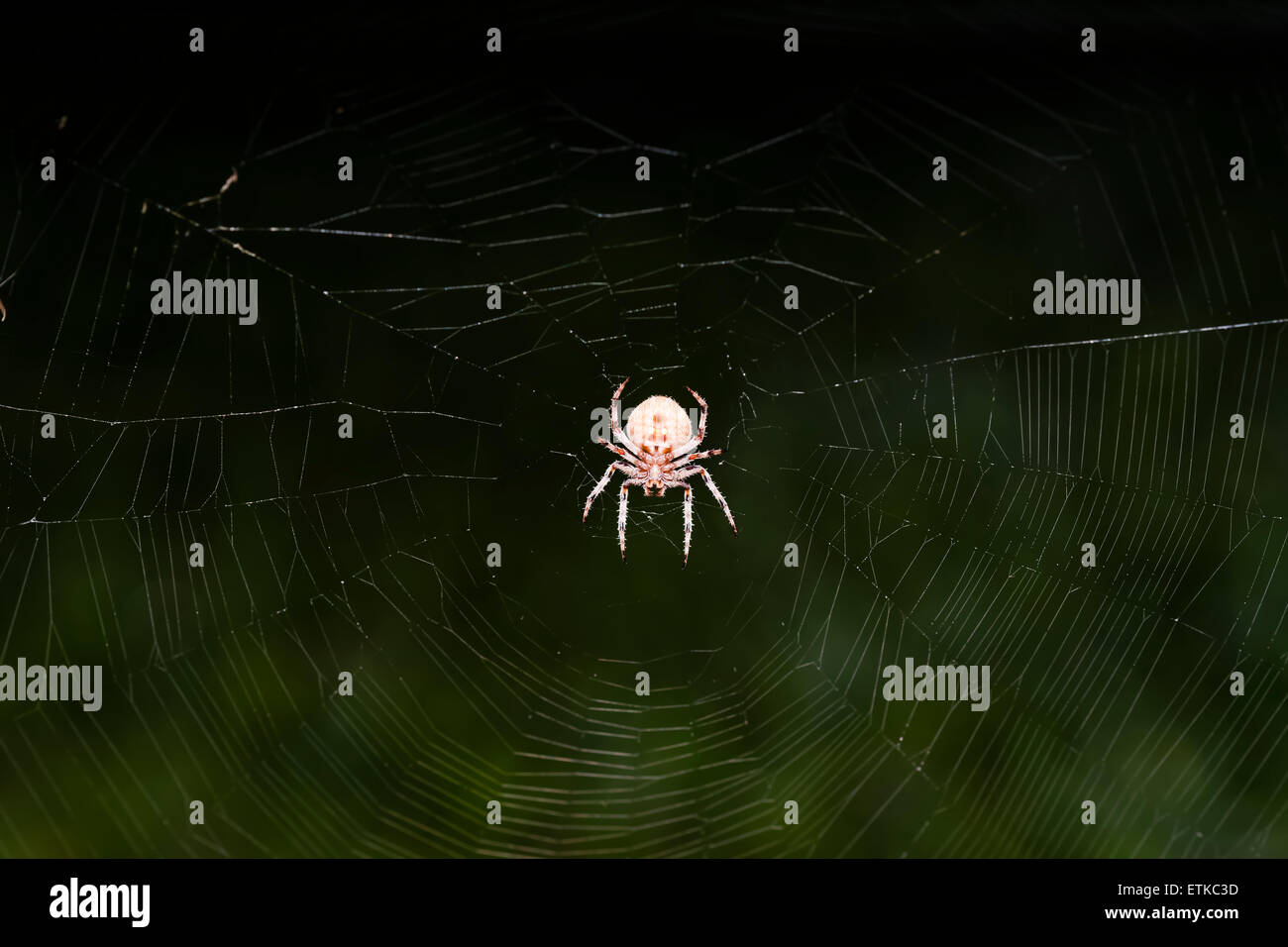 Spider at night. - Stock Image