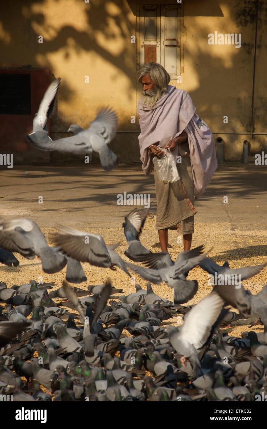 Indian man feeding pigeons, Jaipur, Rajasthan, India - Stock Image