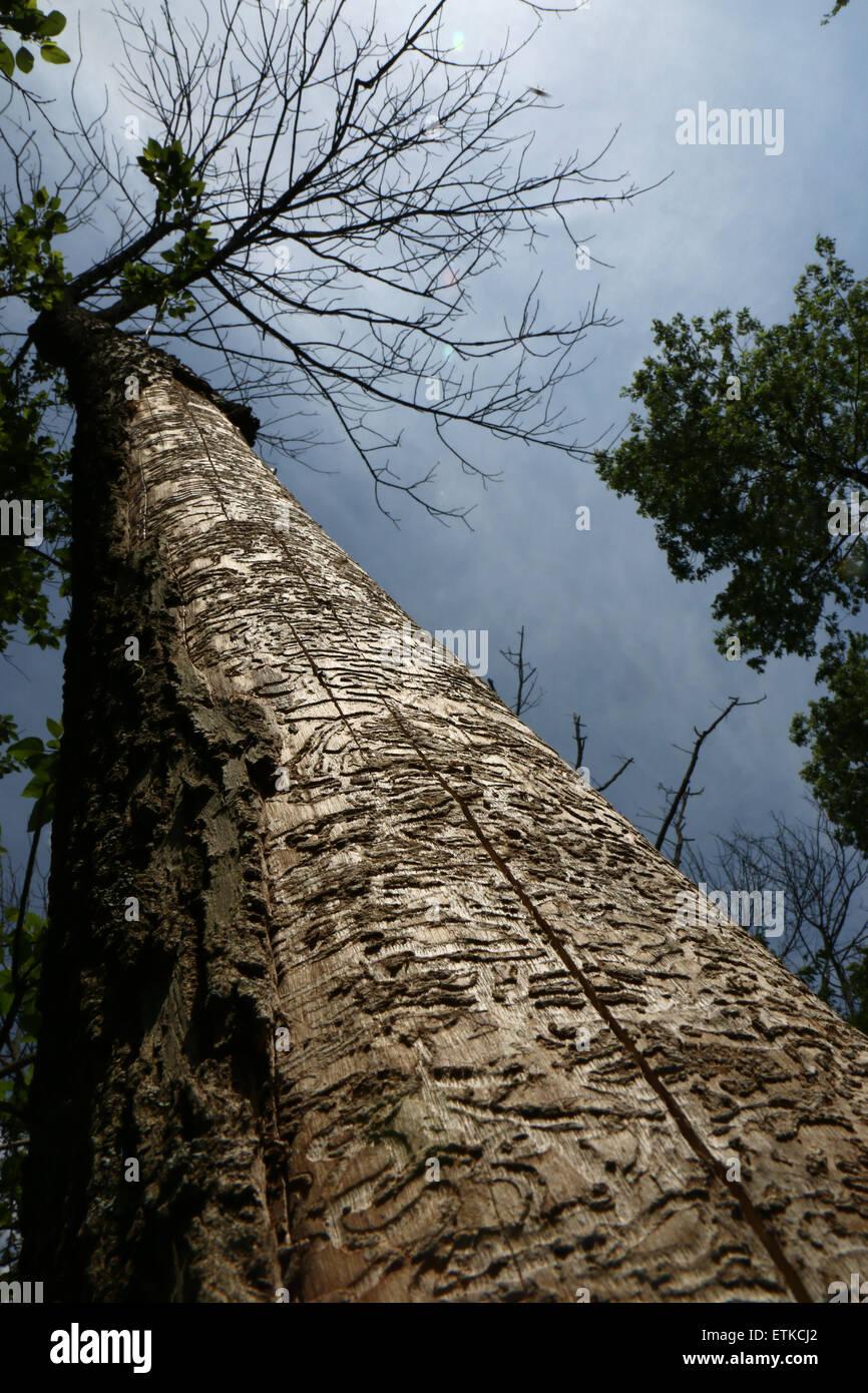 Ash tree killed by Emerald ash borer Cincinnati Ohio - Stock Image