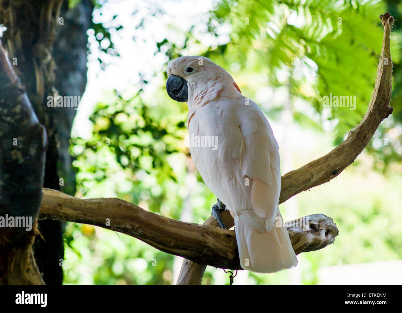 Moluccan Cockatoo, Salmon Crested, Kaua'i Marriott Resort; Kalapaki Bay, Kaua'i, Hawaii, USA - Stock Image