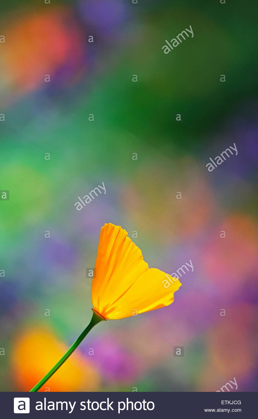 California poppy, Santa Barbara, California, United States of America, North America - Stock Image